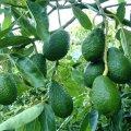 Что делать с авокадо: полезные свойства, рецепты вкусных блюд