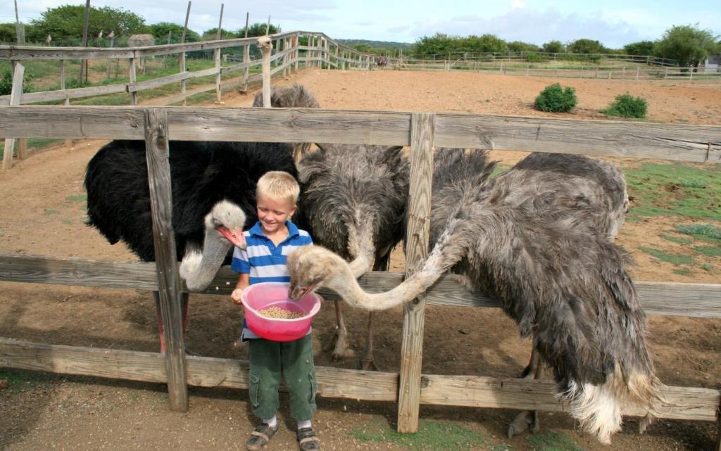 мальчик кормит страусов
