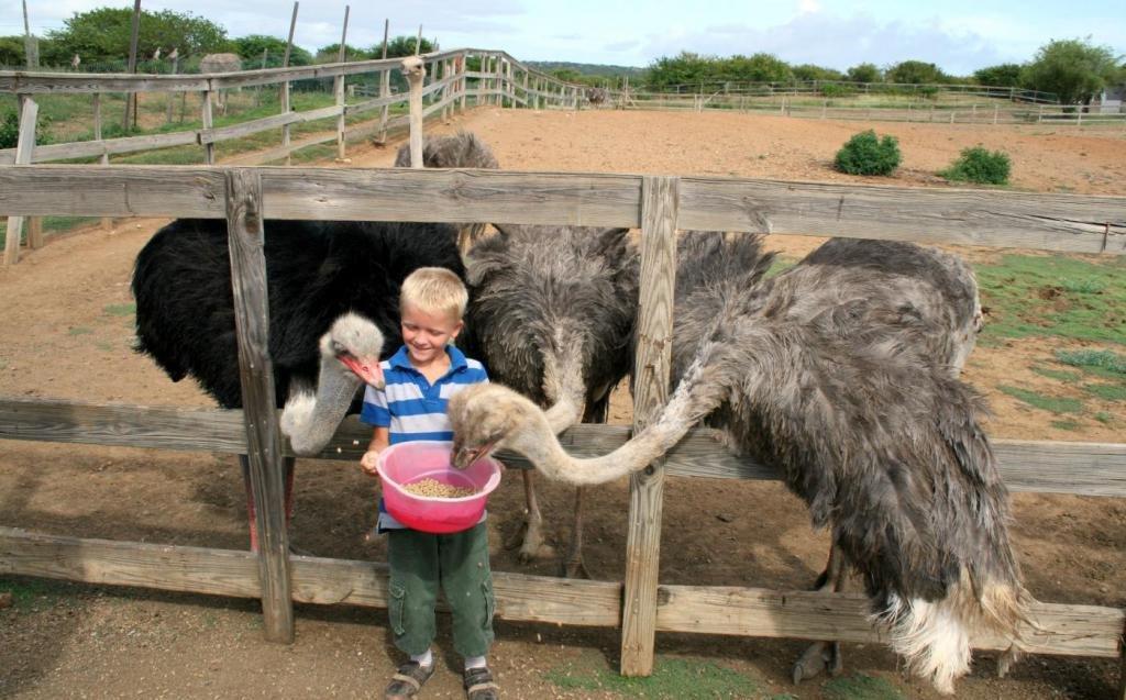 Мальчик кормит страусов на ферме