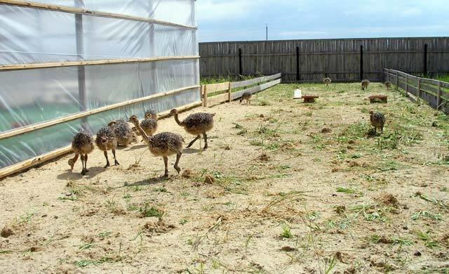 Маленькие страусы на ферме