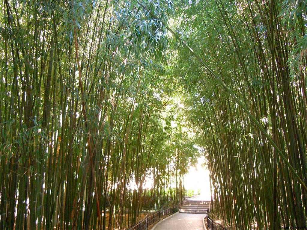 бамбуковая роща в ботаническом саду