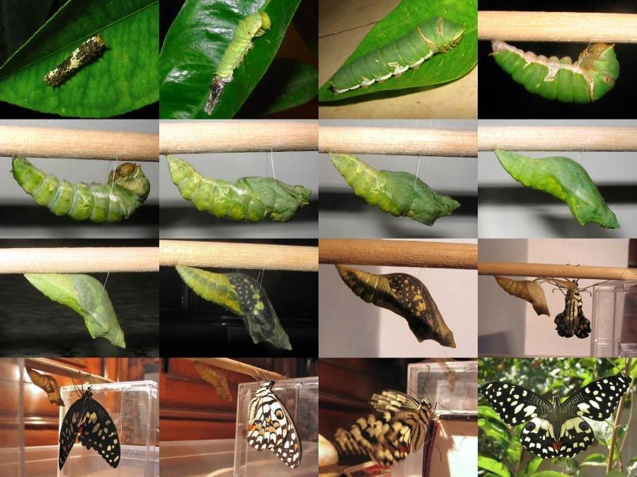 Жизненный цикл бабочки